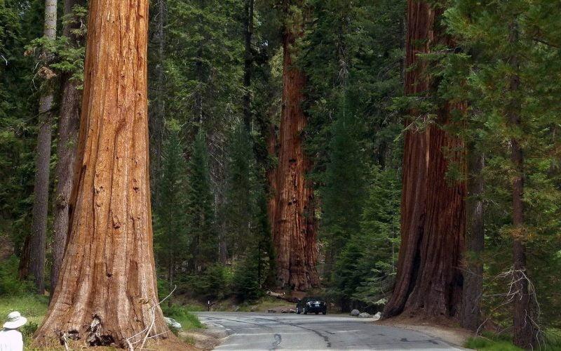 Najwyższe drzewo świata