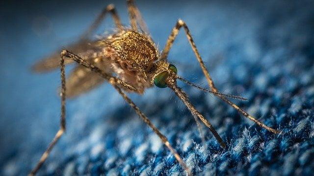 Czy koronawirusa mogą przenosić komary?