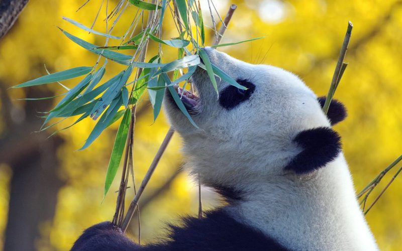Ile je panda?