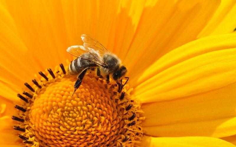 Czy pszczoły żądlą? Czy mają żądło?
