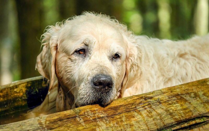 Ile lat miał najstarszy pies?